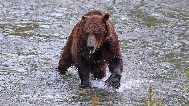 /excursion-image/icy-strait-point-alaska/wilderness-tour-brown-bear-search/119793_160219100742.jpg