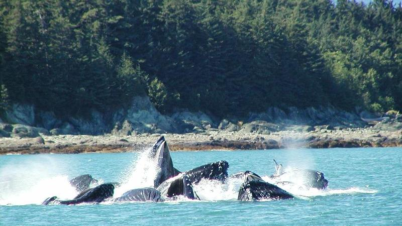 /excursion-image/juneau-alaska/combo-tour-whale-watching-and-mendenhall-glacier/063353_110902093629.jpg