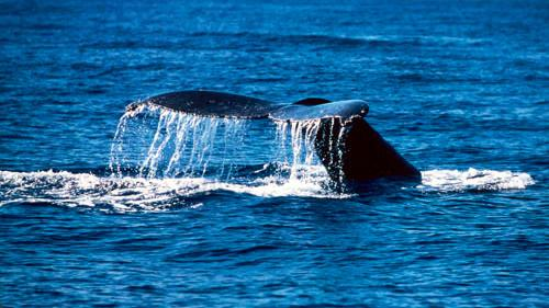 /excursion-image/maui-lahaina-hawaii/late-afternoon-maui-whale-watch-december-15-april-15/020997_110901115404.jpg