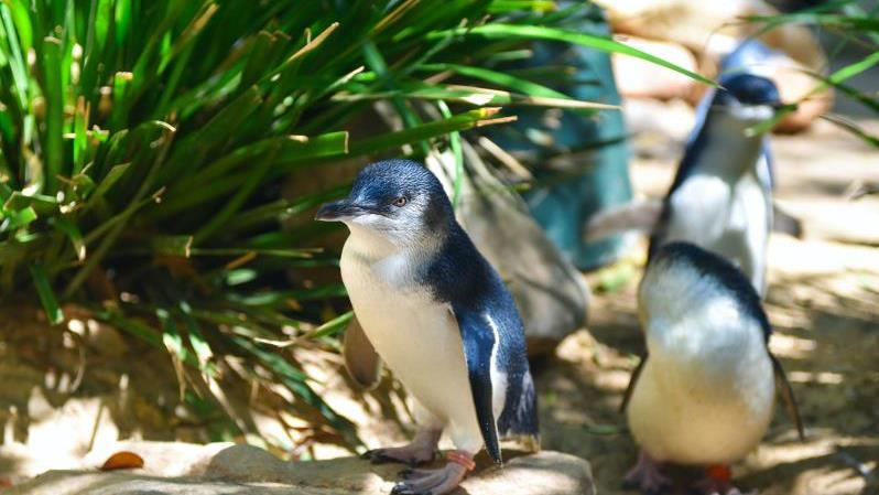 Phillip Island And The Penguin Parade - Phillip Island And The Penguin Parade. Copyright ShoreTrips.com.